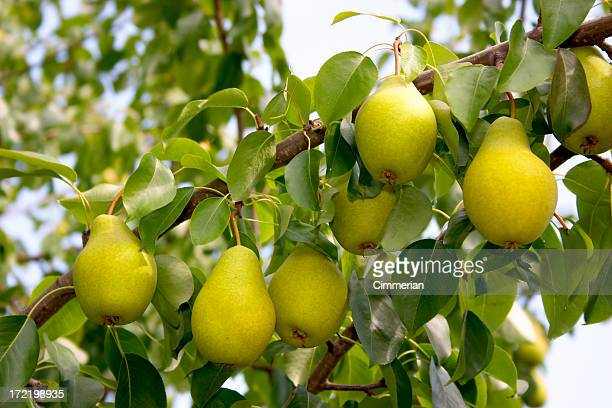 Fresh pears growing on a tree branch