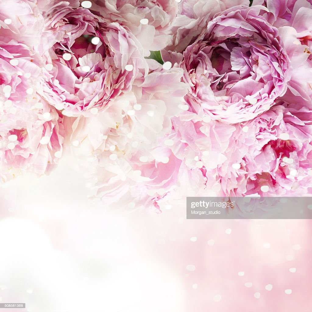Fresh peony, greeting card for mothers day, 8 March, Valentintin : Bildbanksbilder