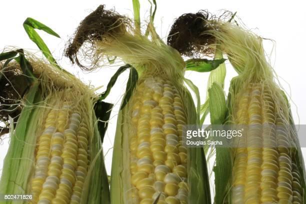 Fresh picked Corn (zea mays)