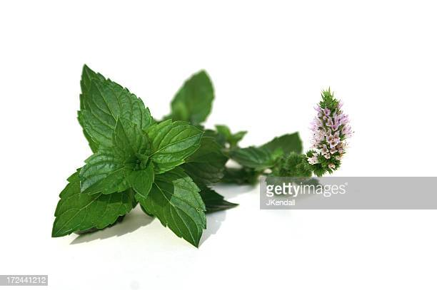 Fresh picked mint isolated on a white background