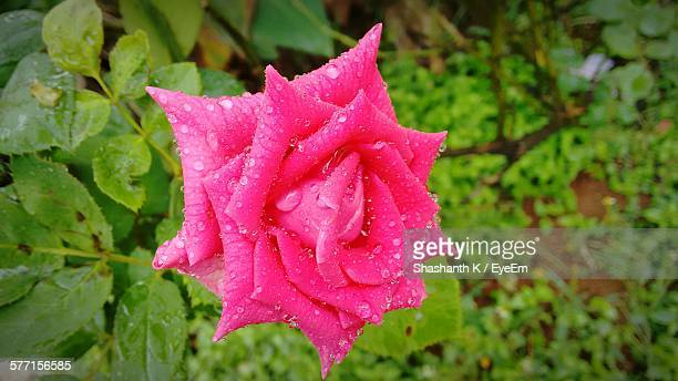 Fresh Pink Rose With Rain Drops Blooming In Garden