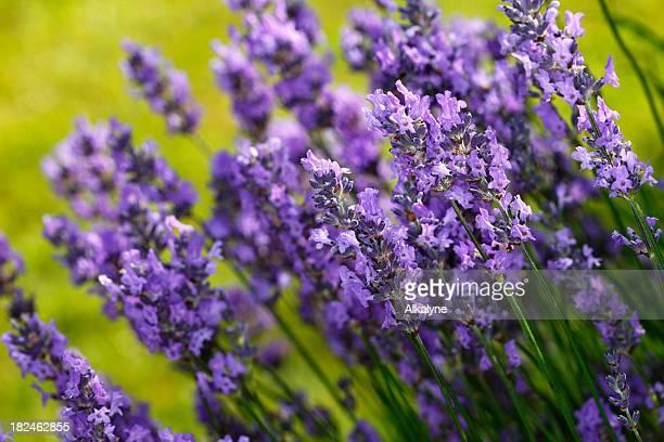 Fresh purple organic lavender flowers faded green back