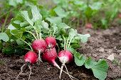Fresh radish in garden