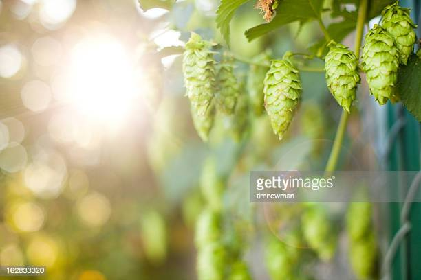 Fresh Ripe Summer Grown Hops for making Beer