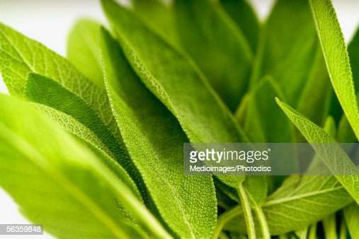 Fresh sage leaves, close-up, part of, selective focus : Stock Photo