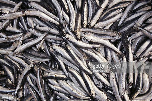 Fresh sardines are displayed at the central fish market May 20 2006 in Athens Greece A recent report by The Worldwide Fund for Nature accuses...