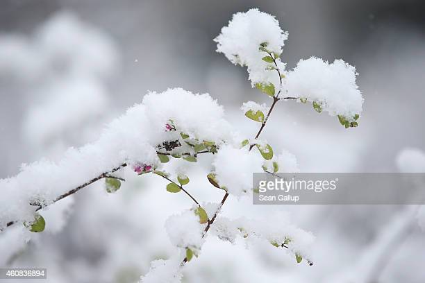 Fresh snow covers leaves on a branch in Zehlendorf district after the season's first snowfall on December 26 2014 in Berlin Germany Germany has so...
