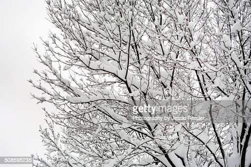 Fresh snow on tree branches : Stock Photo