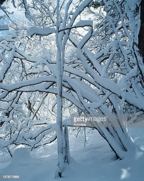 Fresh snowfall Weindorfers Forest Cradle MountainLake St Clair National Park Tasmania Australia
