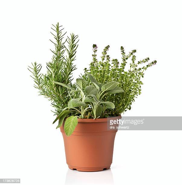 Fresh spicy green herb in a pot