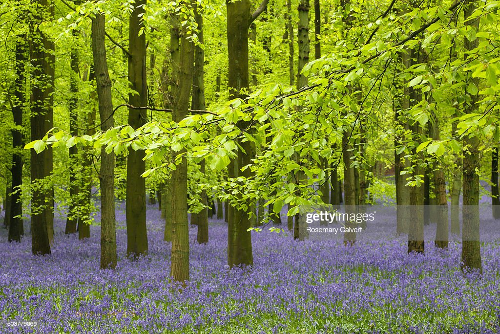 Fresh spring beech leaves and bluebells in wood