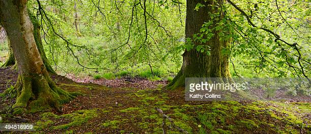 Fresh spring beech trees in leaf