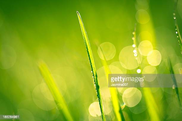 Fresh spring grass with water drops