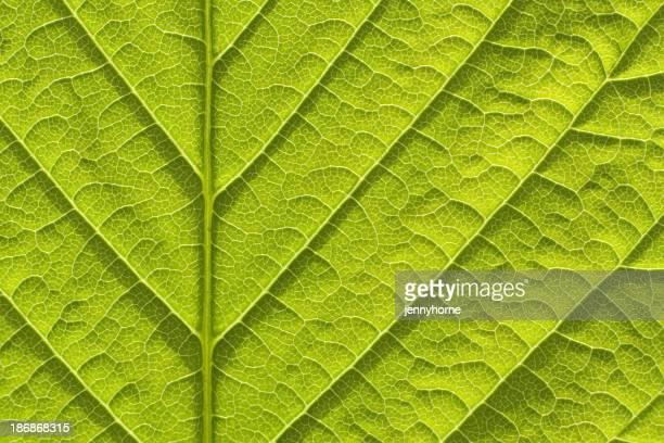 Fresh spring leaf