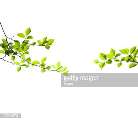 Fresh Spring Leaves on White