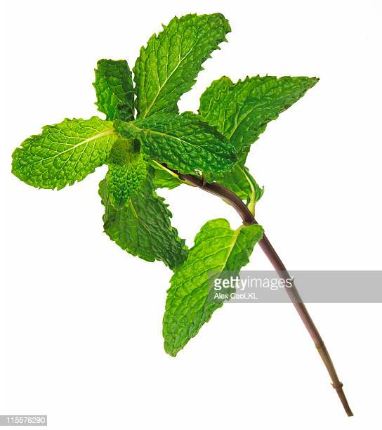 Fresh Stem of Mint