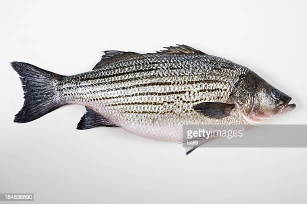 Fresh striped bass