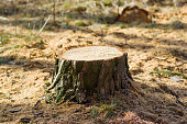 The stump was left from a recently felled tree in the forest