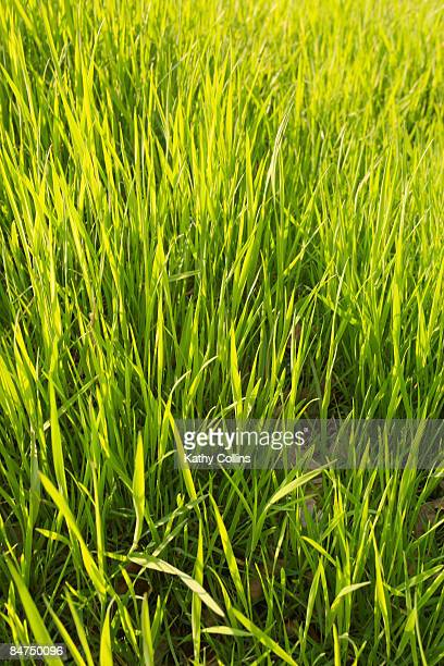 Fresh sunlit spring meadow grass, Scotland