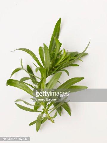 Fresh tarragon on white background