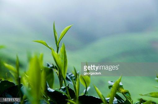 Fresh Tea Growth