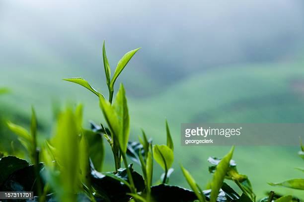 Fresh Tea Growth