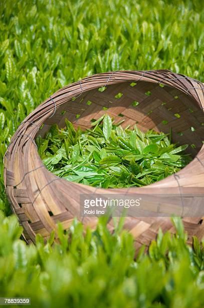 Fresh tea leaves in basket