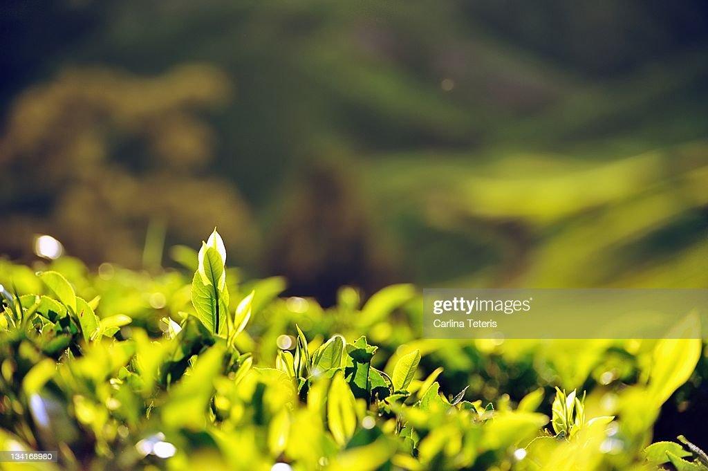 Fresh tea leaves : Stock Photo