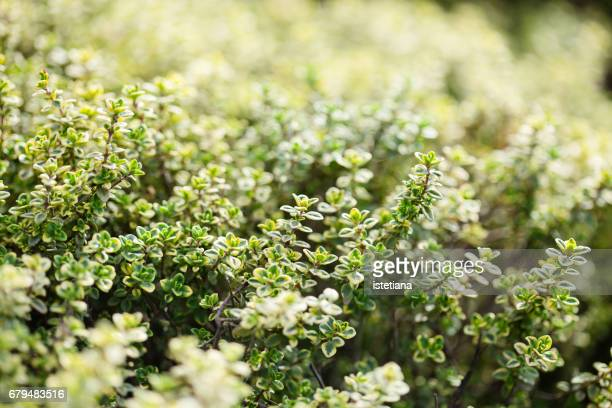 Fresh thyme herb plants growing in a herb garden