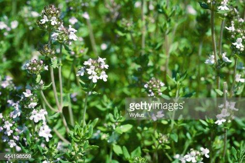 Tomilho e plantas aromáticas frescas : Foto de stock