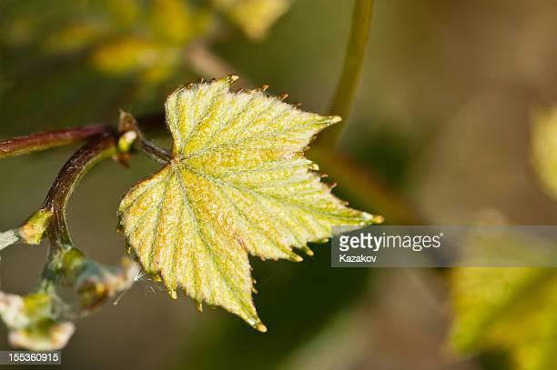 Feuille de vigne fraîches