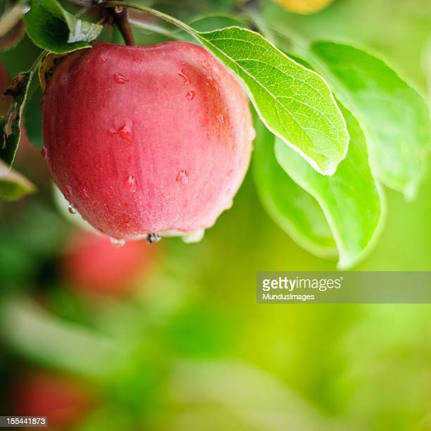 Frische Washington State Apple