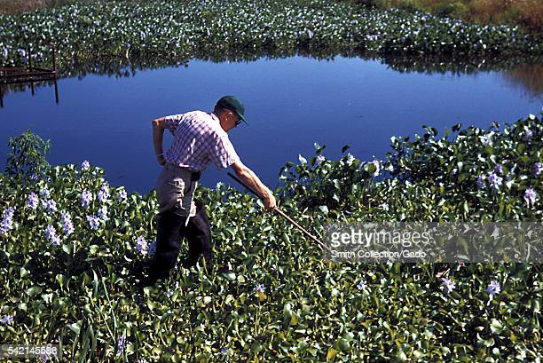 Fresh water lake mosquitoes are found amongst Water Hyacinth 1975 Water hyacinth in a Louisiana pond can act as a breeding ground for Anopheles...