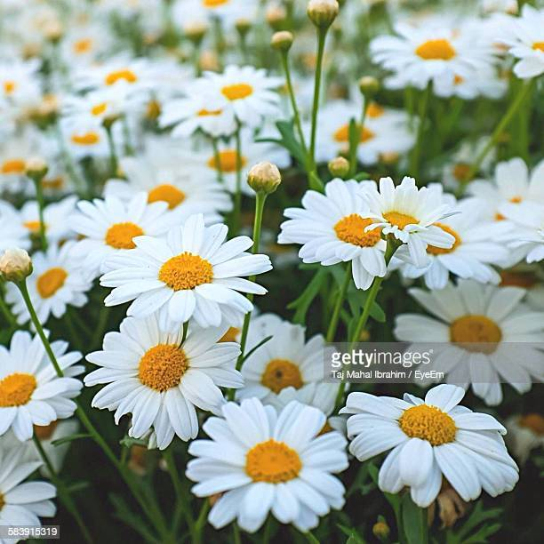 Fresh White Daisy Flowers Blooming In Field