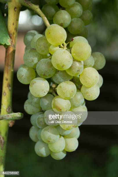 fresh White Grapes