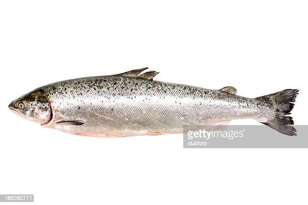 Fresh whole salmon