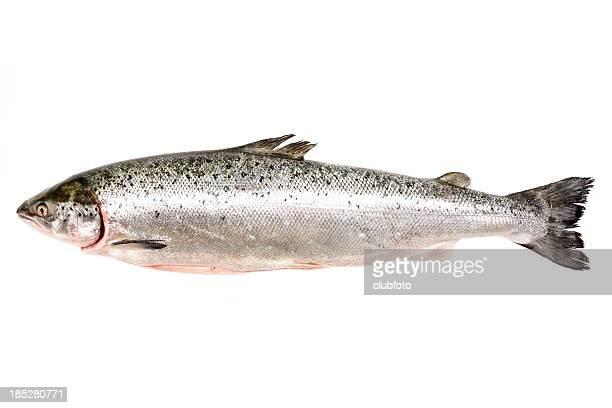 Du saumon frais