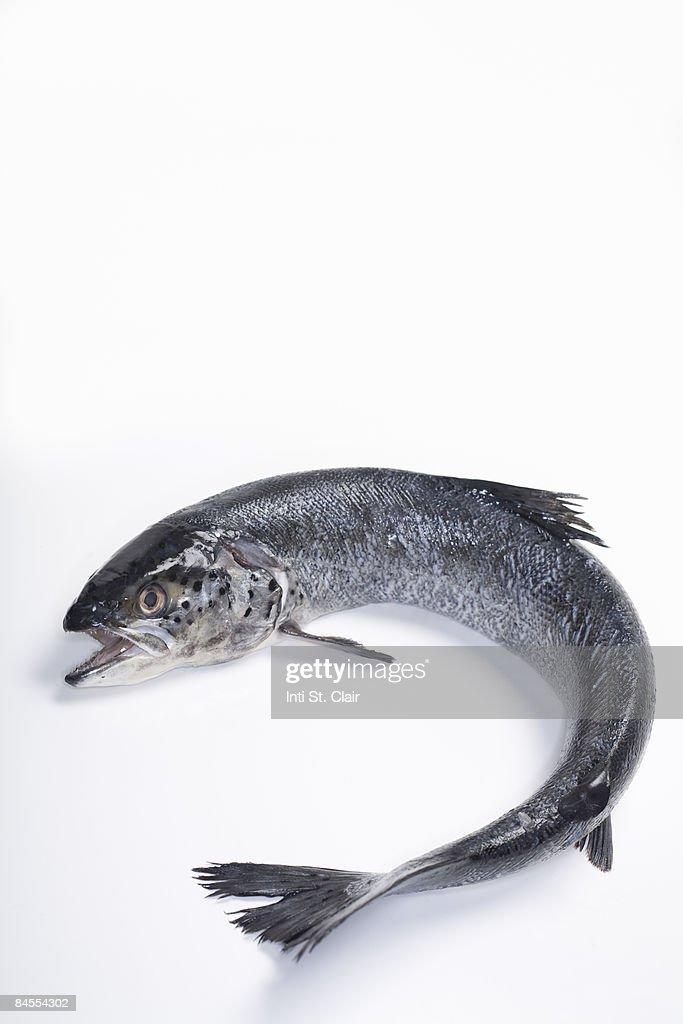 Fresh, wild caught, Coho salmon : Stock Photo
