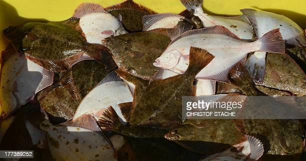 Freshly caught flounders lie in a box in the port of Gager on the northern German the island Ruegen on August 20 2013 On seven days a week Gager...