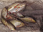 Freshly caught river rudd fishes on wooden background. Just caught rudd lying on fishing net. Common rudd (Scardinius erythropthalmus)