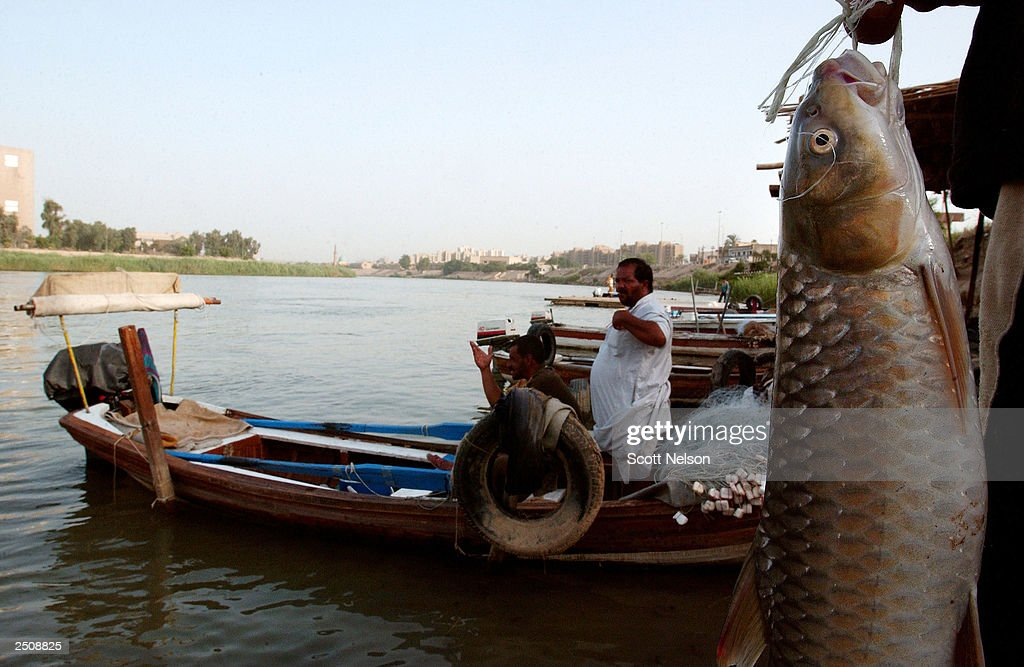 A freshly caught shezboot fish hangs near Iraqi fishermen preparing their boats on the Tigris River September 18 2003 near downtown Baghdad Iraq The...