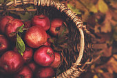 Freshly fallen and picked apples from an apple tree