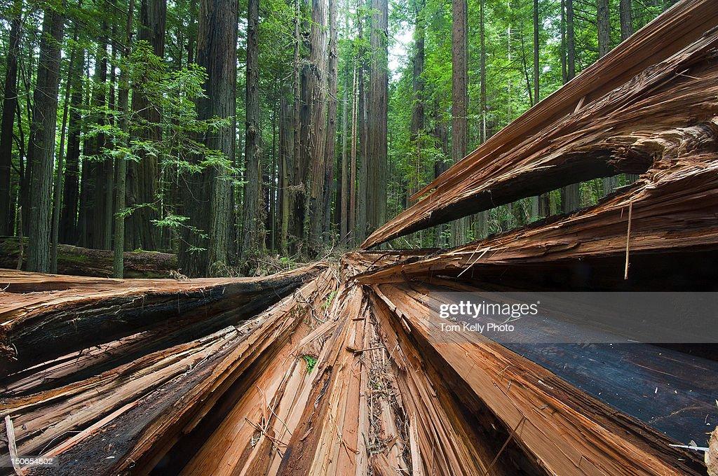 Freshly Fallen Redwood