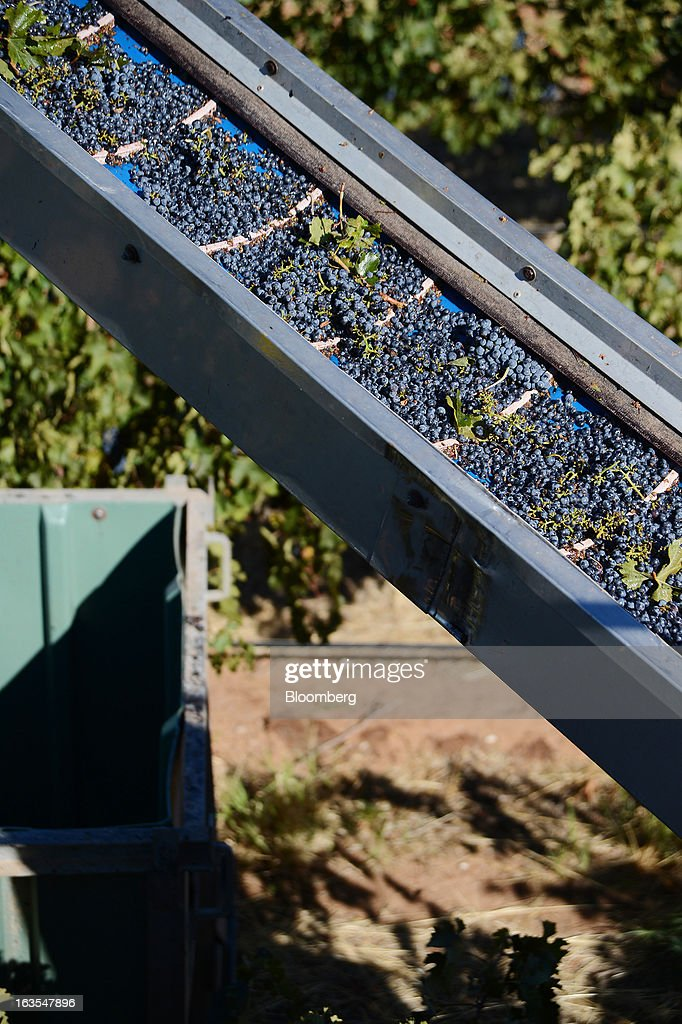 Freshly harvested Cabernet Sauvignon grapes travel along a conveyor towards a catch bin at Treasury Wine Estates Ltd.'s Wolf Blass vineyards in the Barossa Valley, Australia, on Monday, March 4, 2013. Treasury, Australia's largest winemaker, is counting on luxury and high-end products to boost earnings as the strength of the Australian dollar makes lower-priced export labels unprofitable and domestic liquor chains push for cheaper products under their own labels. Photographer: Carla Gottgens/Bloomberg via Getty Images