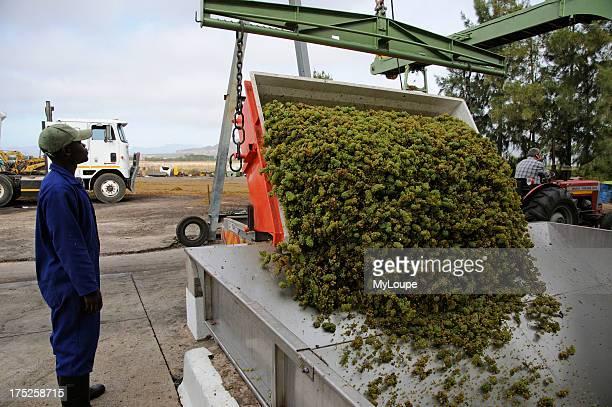 Freshly harvested Chenin grapes are tipped from trailer to hopper at Koelenhof Winery Stellenbosh western Cape South Africa