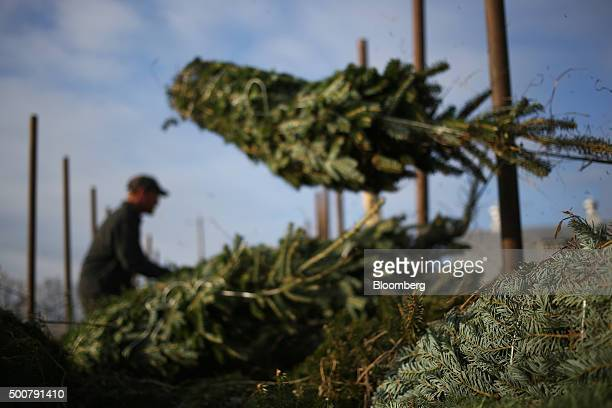 Freshly harvested Douglas Fir Christmas trees are loaded onto a truck at Brown's Tree Farm in Muncy Pennsylvania US on Tuesday Dec 8 2015 October...