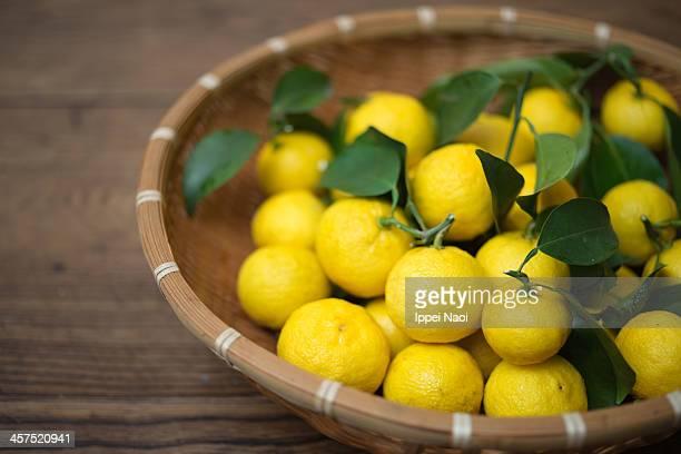 Freshly harvested organic Yuzu (Japanese citrus)