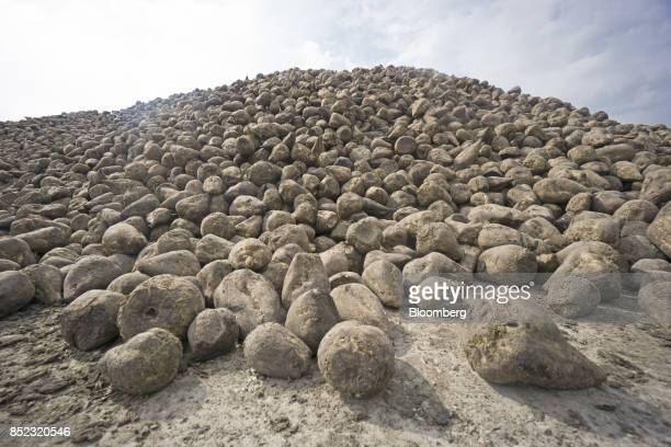 Freshly harvested sugar beets sit piled ahead of processing at the EDF Man Ltd refinery in Nikolaev Ukraine on Friday Sept 22 2017 More sugar is...