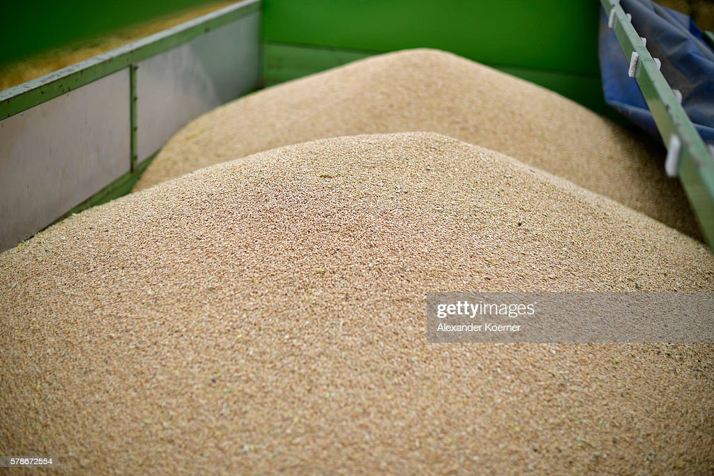 Freshly harvested summer wheat lies inside a trolley on July 21 2016 near Neustadt am Rubenberge Germany According to local farmers the water content...