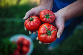 Tomato harvest. Farmers hands with freshly harvested tomatoes
